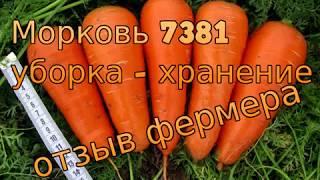 Морковь 7381 - уборка и хранение. Отзывы фермера. Лучшая морковь для хранения! Морковь Seminis