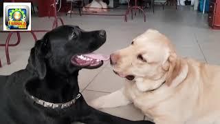 Minunatii caini Labradori   faze amuzante