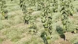 TEAK PLANTS 04 12 2016 INDRA VILLAGE MANAVADAR JUNAGADH