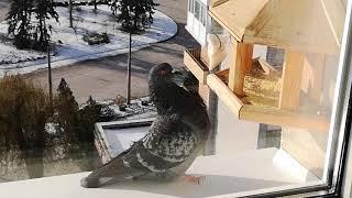 Голубь поглядывает на сало но  ест пшено с кормушки.Dove looks at the lard but eats millet