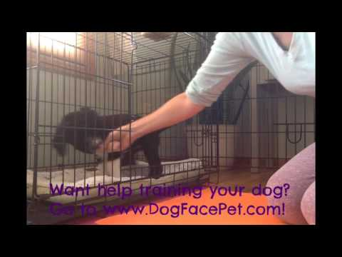 Puppy Crate Training 9 week old Portuguese Water Dog