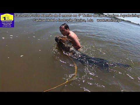 Cachorro Pastor Alemão de 9 meses  no 1º Treino de Cães Caniroa Aquatraining