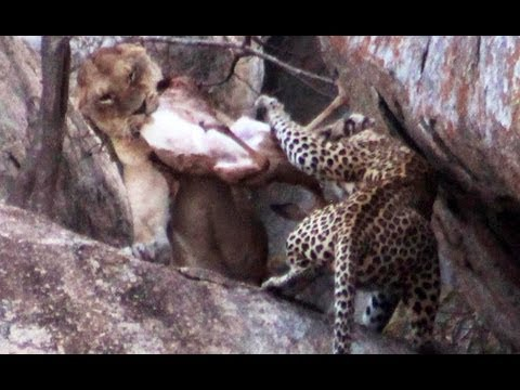 Thumbnail: Lioness vs Leopard - Latest Sightings