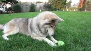 my wolf dog playing with water balloons