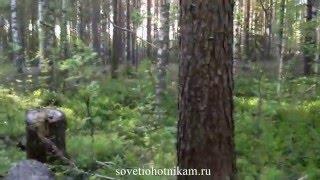 Солонец на лося. Солонец видео!(В этом видео я показываю и рассказываю, как приманить лосей на свою территорию охоты с помощью поваленных..., 2015-06-01T12:43:35.000Z)
