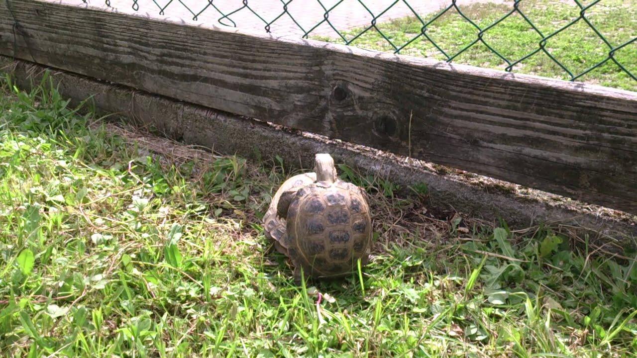 riproduzione tartarughe horsfieldi youtube