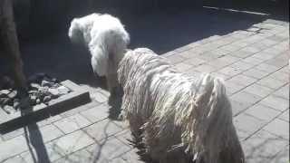 Komondor Dog Op Bezoek Bij Haar Ouders