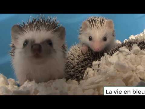 Tổng hợp nhím dễ thương - hedgehog cute