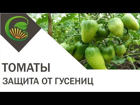 Гусеницы на помидорах