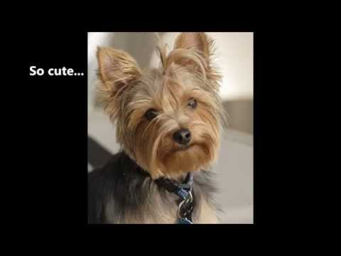 funny-yorkshire-terrier-video---i-love-yorkshire-terrier-temperament-except-barking!