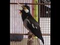 Jalak Suren Gacor Isian Melimpah Nyecret(.mp3 .mp4) Mp3 - Mp4 Download