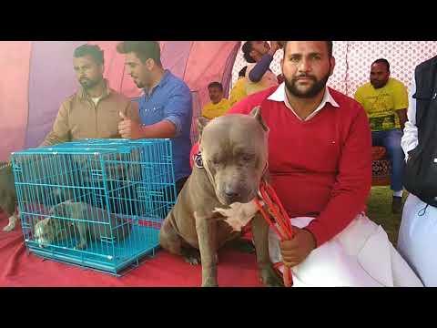 Dog Show Ludhiana - Bhola Shola