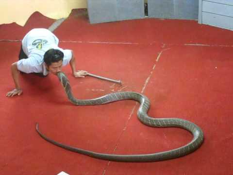 kiss king cobra at the phuket snake farm thailand