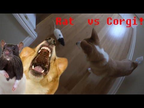 Rat Chases Corgi!