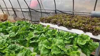 늘푸른채 수경재배기 옥상텃밭용 비닐하우스 재배하고 있습…