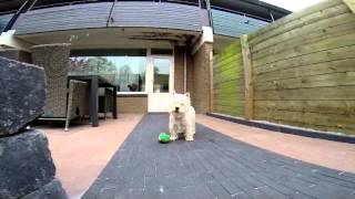 West Highland White Terrier Toby playing in the garden