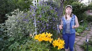 видео Осенняя подкормка роз: когда и как правильно?