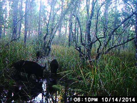Blackwater River WMA Hogs