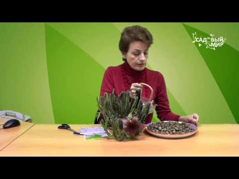 Необычные комнатные растения  Стапелия