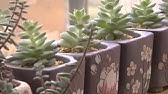 Growing the Chinese Perfume Plant (Aglaia odorata) - YouTube