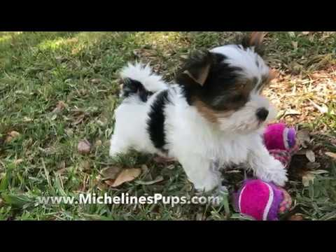 Gorgeous Tiny Biewer or Parti Yorkies – Micheline's Pups