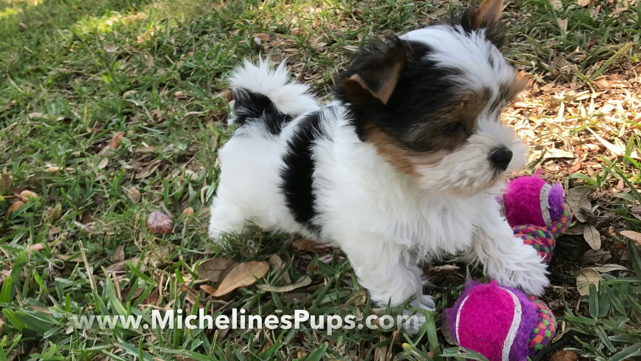 Gorgeous Tiny Biewer Or Parti Yorkies Michelines Pups Youtube