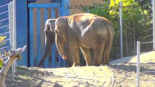 Asian Elephants - Elephas Maximus - Los Angeles Zoo(, 2014-01-17T08:20:44.000Z)