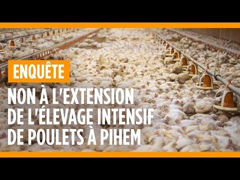Non à l'extension de l'élevage intensif de poulets à Pihem