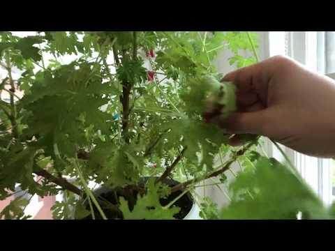 How To Grow Indoor Citronella Plants And Propagate Them