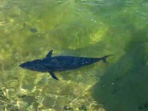 tuna swimming