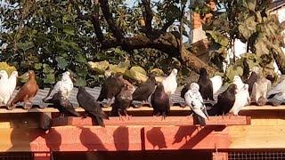 05.09.19. Голуби полетели на экскурсию. Pigeons flew on a tour