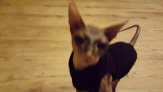 В гостях у  кошки СФИНКСА (очень красивая кошечка) Visiting cats SPHINX (very pretty kitty)