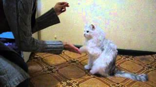 Кот дает лапу