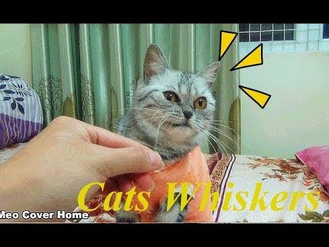 Funny My Cats Whisker Being Pulled Out | Troll Cat Vines 2018 [Funny Pets]