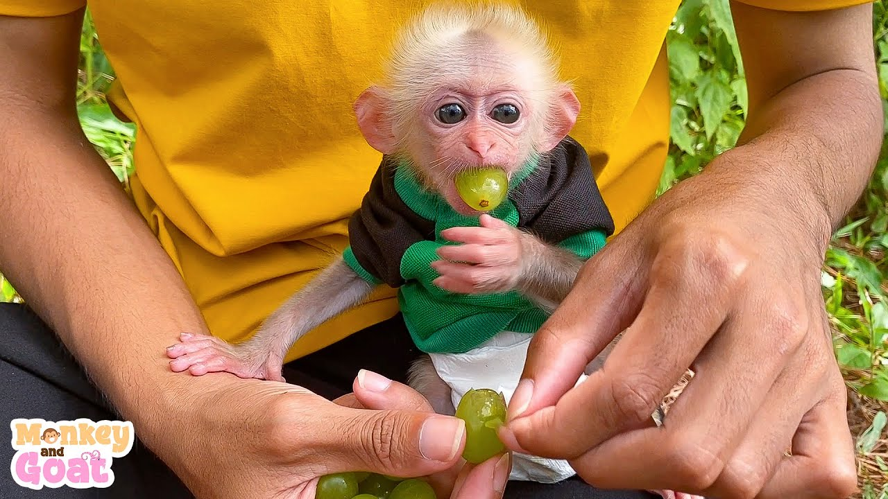 Baby monkey is happy to eat grapes