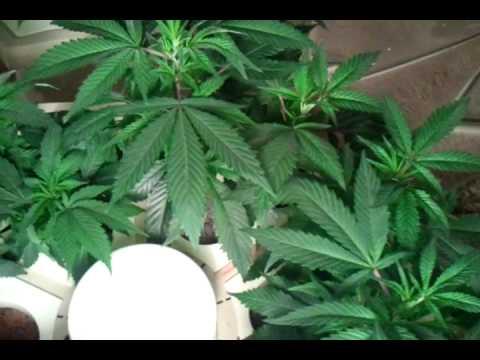 Led grow mango kush 13 days old