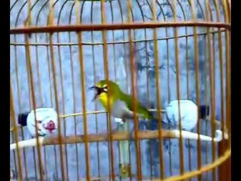 Chim Khuyên líu hay nhất 2015
