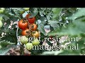 How Resistant Are Blight Resistant Tomatoes?