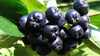 Chokeberry Fruit Health Benefits