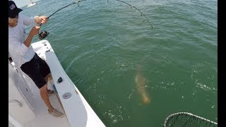 Crazy Sight Fishing COBIA in Virginia!!