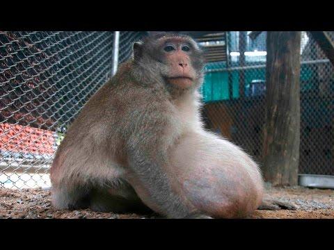 Obese monkey in Thailand put on a strict diet