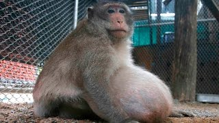 Obese monkey in Thailand put on a strict diet