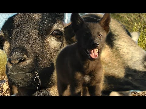 Baby Wolf Meets Sheep ... see what happens