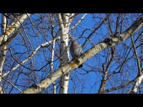 Песня клинтуха Columba Oenas / Stock Dove Song