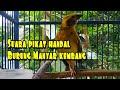 Suara Pikat Burung Manyar Kembang Pemikat Manyar Disawah  Mp3 - Mp4 Download