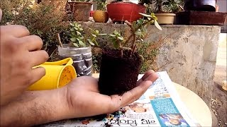Jade plant/friendship tree/lucky plant/Crassula ovata,cutting growth in hindi and urdu part-2