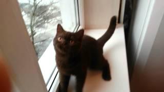 Altangera.ru шоколадная коротко шерстная британка, Купить британского котенка в Ростове-на-Дону,