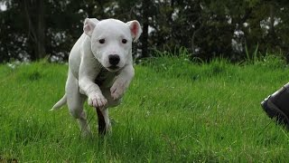 Marley - Staffordshire Bull Terrier Puppy - 2 Week Residential Dog Training