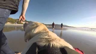 Life as a Labrador - GoPro Hero 3+ Doggie Cam