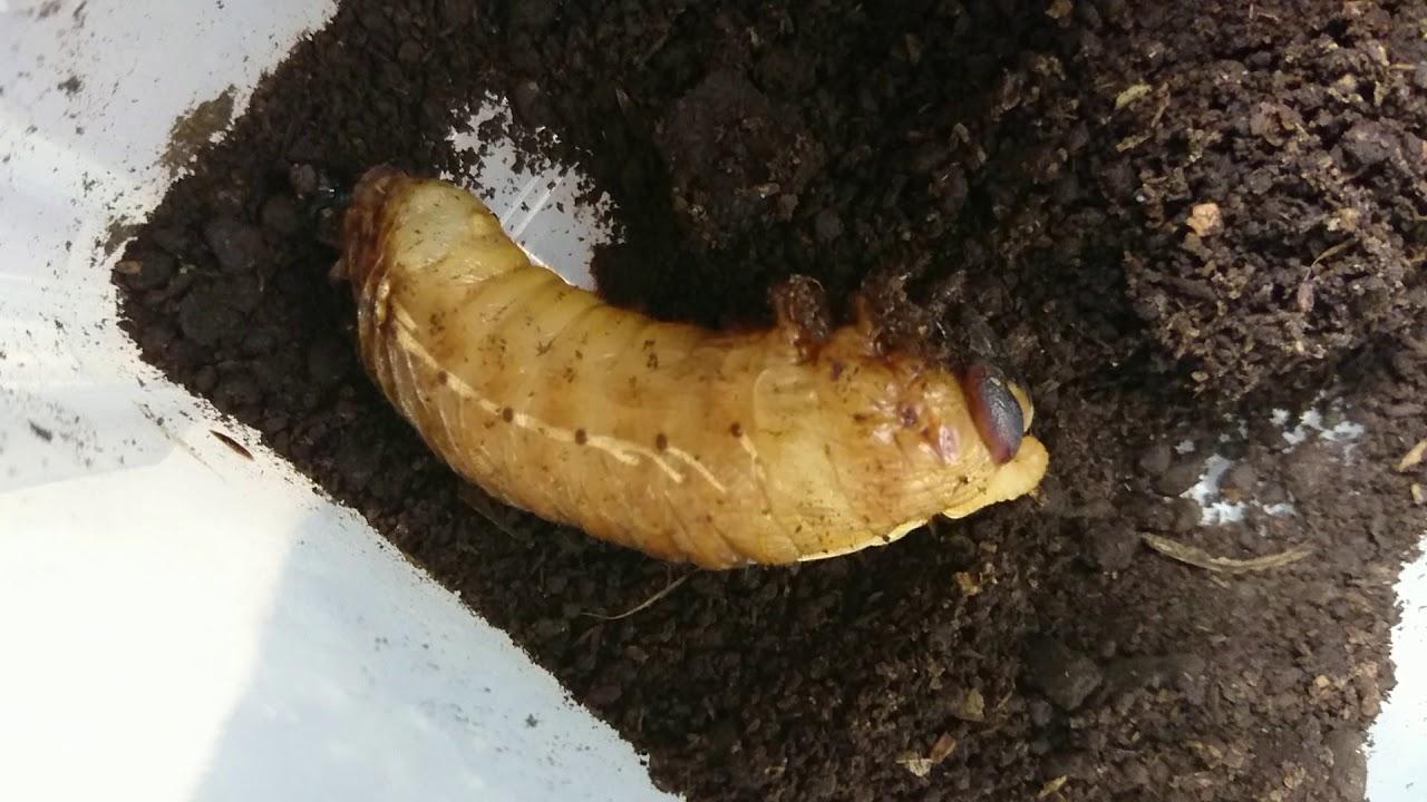 カブトムシ 幼虫 蛹 時期